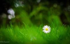 Gnseblmchen (1 von 1) (ostfriese77) Tags: flower nice nikon bokeh ostfriesland gras unscharf schn d5100