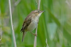JWL8828 Sedge Warbler... (jefflack Wildlife&Nature) Tags: nature birds countryside wildlife wetlands avian warbler heathland songbirds wildbirds warblers sedgewarbler