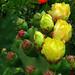 Cactus Blossoms Everywhere