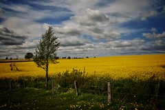 holstein without the holsteins (paddy_bb) Tags: sky cloud germany deutschland bume raps schleswigholstein rapeseed 2016 hasselburg nikond5300 paddybb