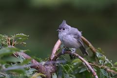 Smitten... (dbifulco) Tags: nature yard newjersey wildlife fledgling tuti tuftedtitmouse nikkor300f4pfed