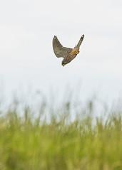 Kestrel Helsby Hill (Mrs_Hadfield) Tags: bird beautiful animal nikon cheshire outdoor dive kestrel d600 helsby