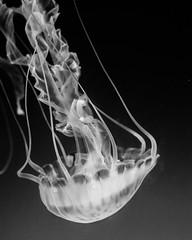 """The Depths"" (rduffy_photo) Tags: ocean california beach water animal 50mm aquarium nikon jellyfish waves underwater wildlife longbeach coastline"