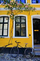 DSC_0819e (chupoptero) Tags: windows roses bicycle denmark kbenhavn brightred cophenhagen nyvestergade