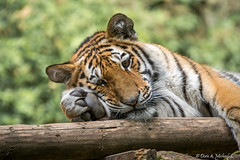 Tiger / Tigre (Tagtrumer / daydreamer) (Doris & Michael S.) Tags: animals tiere tiger tigre