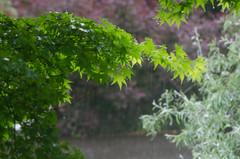 Spring rain (Spannarama) Tags: tree wet leaves rain droplets bokeh japanesemaple raindrops outofmywindow