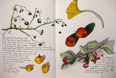 fruits in winter (Evelyn Bach) Tags: plant sketch berries drawing sketchbook naturalhistory drawingyourlife