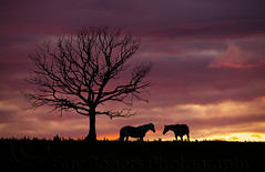 After glow silhouette (Guy_Rogers) Tags: sunset two horse colour tree beautiful field silhouette mammal afterglow