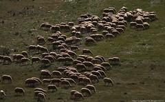 Rebao. (Ivan Mauricio Agudelo Velasquez) Tags: espaa rural contraluz spain europa europe castillalamancha ovejas consuegra