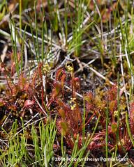 Katydid (Family Tettigoniidae) on Drosera anglica DSC_0452 (fotosynthesys) Tags: california insect unitedstates sundew katydid tettigoniidae carnivorousplant droseraceae droseraanglica
