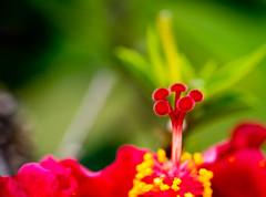hibiscus blossom (Danyel B. Photography) Tags: macro nature beauty close blossom bokeh sony details natur sharp stamp hibiscus nah makro 90mm blte hibiskus stempel