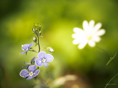 (N.H. || Photography) Tags: summer white macro green nature field closeup forest garden spring dof purple bokeh 10 olympus m 60mm em makro zuiko f28 omd