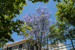(Psinthos.Net) Tags: trees light summer sky sunlight nature leaves june countryside day blossoms bluesky treetrunk valley sunrays planetrees treebranches sunnyday planetree purpletree     vrisi purpleblossoms               psinthosvalley    vrisiarea     vrisipsinthos