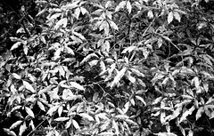 a shrubbery (troutfactory) Tags: blackandwhite bw film nature monochrome leaves japan bush rangefinder  osaka analogue kansai ilforddelta400   minoh  50mmnokton minoo   voigtlanderbessat