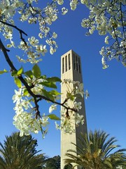 Storke Tower, again (toranosuke) Tags: storketower plumblossoms
