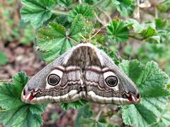 Saturnia pavonia (Female) (Lepsibu) Tags: saturniidae