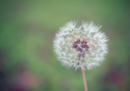 (what_marty_sees) Tags: white nature floral spring dandelion negativespace delicate gentle wishing makeawish highcallingfocus