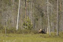 European Brown Bear, Finnish Taiga (Daniel Trim) Tags: bear wild brown finland european centre finnish ursus taiga arctos