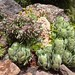 Kaktusarter Fuerteventura