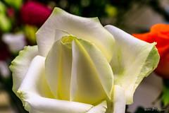 Rose (yann.dimauro) Tags: france macro fleur rose rhne rhnealpes givors