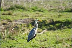 Blauwe Reiger (Ardea cinerea) (7D025513) (Hetwie) Tags: bird nature nederland natuur ardeacinerea hebron reiger noordbrabant helmond rooipotige