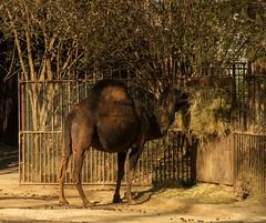 Haplea (teocastel) Tags: paris france animal zoo hey animale mnagerie
