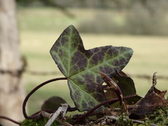 Feuille (Letoines) Tags: nature feuille limousin