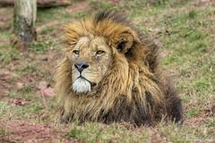 Male Lion (Graham's Gallery) Tags: nikon wildlife lion lions bigcats mane malelion southlakes nikond800 southlakessafarizoo