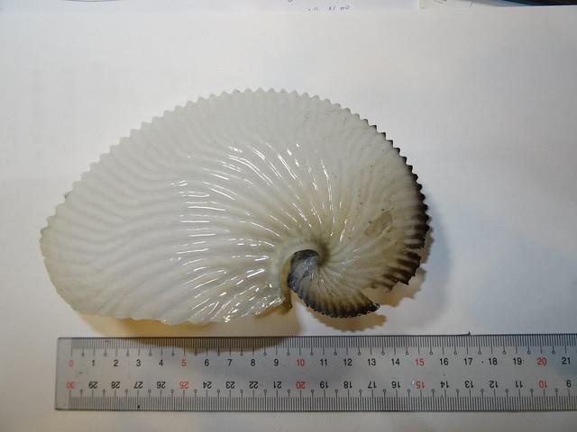 扁船蛸01