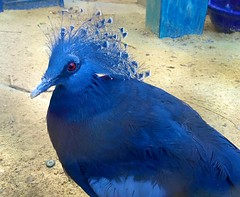 blue rescue bird beauty pigeon victoria aviary endangered genetic crowned