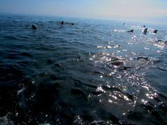 Lobos (Guillermo Feli) Tags: chile oceano mejillones lobosmarinos