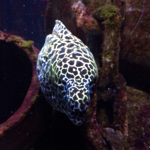 A very large spotty eel at the Melbourne Aquarium