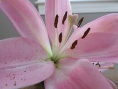 Pink Flower: Focus (filechloe) Tags: pink flower love beautiful up closeup fun amazing focus pretty close floor michigan fresh pollen lovely