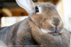 IMG_4105-1 (Rabbit's Album) Tags: cute rabbit bunny  choco   minirex   canonx7i x7i efs24mmf28stm