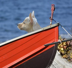 Boat Dog (swong95765) Tags: ocean dog puppy boat ears shore perky moored