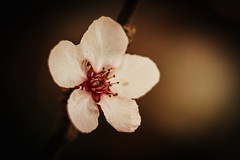 flowering plum blossom (mnhoj) Tags: sigma 60 floweringplum nex6 sigma60