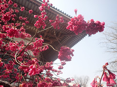 Cerasus cerasoides var. campanulata (Shiori Hosomi) Tags: flowers plants japan tokyo march  sakura cherryblossoms   prunus  rosales cerasus  rosaceae 2015 taiwancherry         23