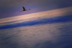 Flamingo (irina_escoffery) Tags: