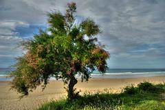 Mecido por el viento (javipaper) Tags: árboles playa cantabria santoña cantábrico berria
