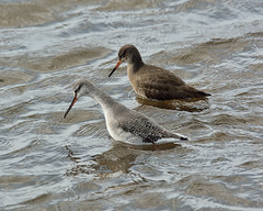 Redshank and Spotted Redshank Leighton Moss 6-3-15 (NoBBy400) Tags: bird lancashire redshank wader leightonmoss spottedredshank rspbleightonmoss