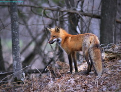 Red Fox Redux (Direwolf131) Tags: