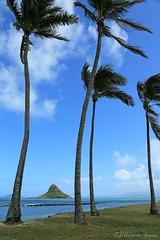 04172015_013_ (ALOHA de HAWAII) Tags: hawaii oahu kualoaregionalpark chinamanshatislandpalmtree