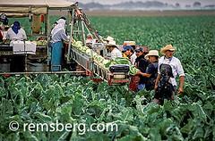 SALINAS, CALIFORNIA - farm workers harvest vegetables in the Salinas valley (Remsberg Photos) Tags: california plants usa vegetables outdoors farming working harvest salinas crops agriculture hardwork salinasvalley