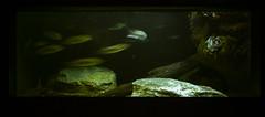 Lake Trout (Ian David Blm) Tags: ocean life lake fish water dark aquarium bay marine harbour deep maryland baltimore fresh inner national aquatic trout chesapeake the thenationalaquarium