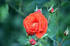 Red Rose (tonny.froyen) Tags: flowers flores flower macro fleur beautiful fleurs garden botanical petals amazing pretty blossom blumen petal bloom blooms fiori blomst blomster molde flowerporn floweroftheday flowermagic flowerslovers rbnett flowerstagram
