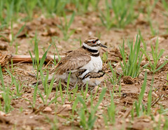 Killdeer baby (snooker2009) Tags: baby bird fall nature spring babies pennsylvania killdeer wildlife young migration