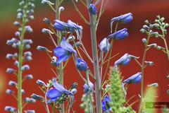 primary joy (cherryspicks) Tags: plant flower color macro closeup colorful depthoffield primary