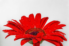 Gerberas (~trigger_happy~) Tags: red wow high focus key sharp gerberas helicon