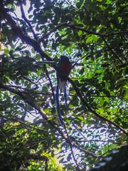 """La Réserve de Monteverde: un Quetzal Resplendissant mâle <a style=""""margin-left:10px; font-size:0.8em;"""" href=""""http://www.flickr.com/photos/127723101@N04/26671467080/"""" target=""""_blank"""">@flickr</a>"""