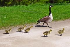 die Kanadagnse haben auch 5 Kinder (mama knipst!) Tags: bird vogel kanadagans